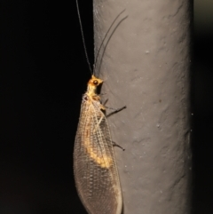 Stenolysmus extraneus (Lacewing) at ANBG - 5 Mar 2021 by TimL