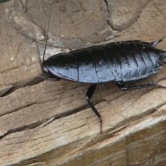 Platyzosteria similis at Kambah, ACT - 8 Feb 2021