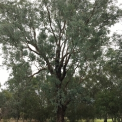 Eucalyptus melliodora (Yellow Box) at Thurgoona Golf Course - 8 Mar 2021 by Alburyconservationcompany