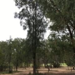 Casuarina cunninghamiana subsp. cunninghamiana (River She-Oak, River Oak) at Thurgoona Golf Course - 8 Mar 2021 by Alburyconservationcompany