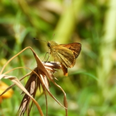 Ocybadistes walkeri (Greenish Grass-dart) at Kambah, ACT - 4 Mar 2021 by MatthewFrawley