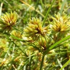 Cyperus eragrostis (Umbrella Sedge) at Kambah, ACT - 6 Mar 2021 by MatthewFrawley