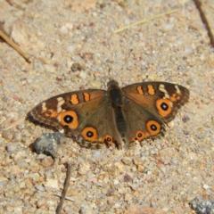Junonia villida (Meadow Argus) at Kambah, ACT - 6 Mar 2021 by MatthewFrawley