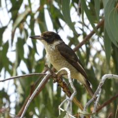 Cracticus torquatus (Grey Butcherbird) at Torrens, ACT - 7 Mar 2021 by MatthewFrawley