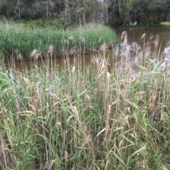 Phragmites australis (Common Reed) at Thurgoona Golf Course - 8 Mar 2021 by Alburyconservationcompany