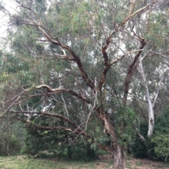 Eucalyptus blakelyi (Blakely's Red Gum) at Thurgoona Golf Course - 8 Mar 2021 by Alburyconservationcompany