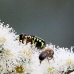 Eupoecila australasiae (Fiddler Beetle) at Wodonga, VIC - 7 Mar 2021 by Kyliegw