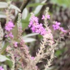 Lythrum salicaria (Purple Loosestrife) at Wodonga, VIC - 7 Mar 2021 by Kyliegw