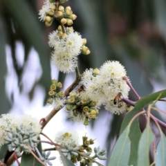 Eucalyptus nortonii (TBC) at Wodonga - 7 Mar 2021 by Kyliegw