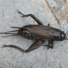 Teleogryllus commodus (Black Field Cricket) at Kambah, ACT - 7 Mar 2021 by HarveyPerkins