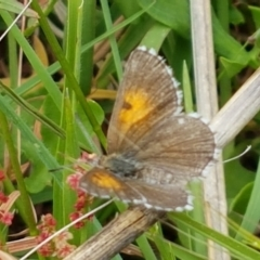 Lucia limbaria (Chequered Copper) at Holt, ACT - 8 Mar 2021 by tpreston