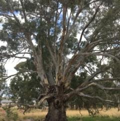 Eucalyptus camaldulensis subsp. camaldulensis (River Red Gum) at - 8 Mar 2021 by Alburyconservationcompany