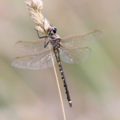 Unidentified Dragonfly (Anisoptera) (TBC) at Wodonga - 8 Mar 2021 by Kyliegw