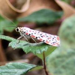 Utetheisa sp. (genus) (A tiger moth) at Wodonga - 8 Mar 2021 by Kyliegw