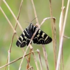 Comocrus behri (Mistletoe Day Moth) at Wodonga - 8 Mar 2021 by Kyliegw