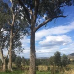 Eucalyptus albens (White Box) at - 8 Mar 2021 by Alburyconservationcompany