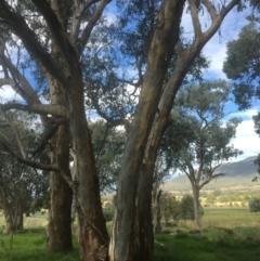 Eucalyptus blakelyi (Blakely's Red Gum) at Leneva, VIC - 8 Mar 2021 by Alburyconservationcompany