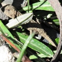 Rankinia diemensis (Mountain Dragon) at Wingecarribee Local Government Area - 6 Mar 2021 by Sarah2019