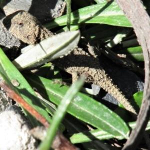 Rankinia diemensis (Mountain Dragon) at suppressed by Sarah2019