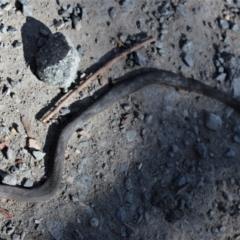Drysdalia rhodogaster (Mustard-bellied Snake) at - 6 Mar 2021 by Sarah2019