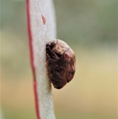 Elaphodes sp. (genus) (TBC) at Cook, ACT - 26 Feb 2021 by CathB