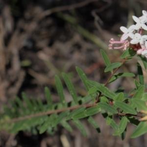 Pimelea linifolia subsp. collina (TBC) at suppressed by Sarah2019