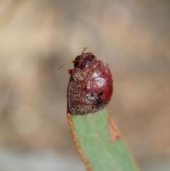 Trachymela sp. (genus) at Aranda Bushland - 18 Feb 2021