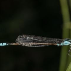 Ischnura heterosticta (Common Bluetail) at Macgregor, ACT - 8 Mar 2021 by Roger