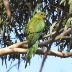 Polytelis swainsonii (Superb Parrot) at Yerrabi Pond - 6 Mar 2021 by HelenCross