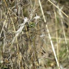 Anax papuensis (Australian Emperor) at Tidbinbilla Nature Reserve - 3 Mar 2021 by SandraH