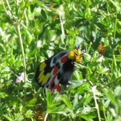 Delias harpalyce (Imperial Jezebel) at Tidbinbilla Nature Reserve - 5 Mar 2021 by SandraH
