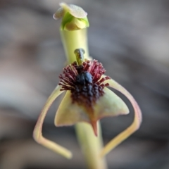 Chiloglottis trilabra (Long-clubbed wasp orchid) at Currawang, NSW - 8 Mar 2021 by camcols