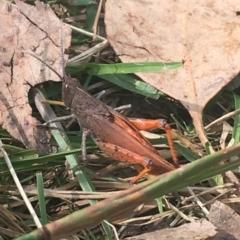 Goniaea opomaloides (Mimetic Gumleaf Grasshopper) at Kosciuszko National Park - 7 Mar 2021 by Ned_Johnston