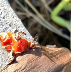 Acanthonevroides jarvisi at Murrumbateman, NSW - 8 Mar 2021