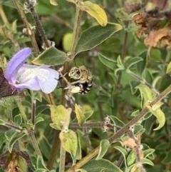 Amegilla (Zonamegilla) asserta (Blue Banded Bee) at Murrumbateman, NSW - 8 Mar 2021 by SimoneC