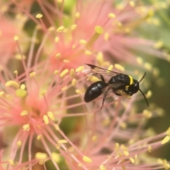 Hylaeus (Prosopisteron) primulipictus (Hylaeine colletid bee) at ANBG - 8 Mar 2021 by PeterA
