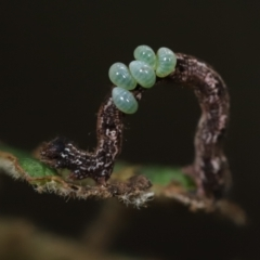 Unidentified Wasp (Hymenoptera, Apocrita) (TBC) at Tidbinbilla Nature Reserve - 7 Mar 2021 by melanoxylon