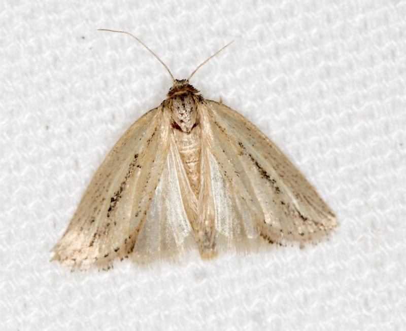 Lepidoptera unclassified ADULT moth at Melba, ACT - 7 Mar 2021