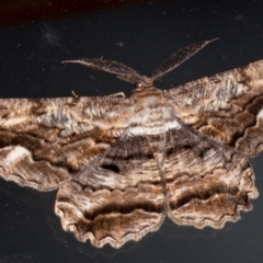 Scioglyptis lyciaria (White-patch Bark Moth) at Melba, ACT - 7 Mar 2021 by Bron