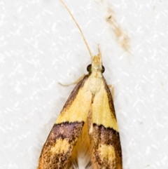 Crocanthes prasinopis (A Curved -horn moth) at Melba, ACT - 7 Mar 2021 by Bron