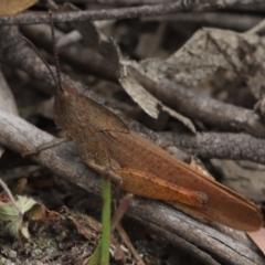 Goniaea australasiae (Gumleaf grasshopper) at Gibraltar Pines - 8 Mar 2021 by melanoxylon