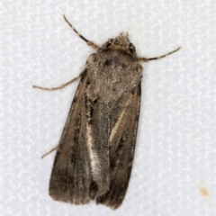 Agrotis infusa (Bogong Moth, Common Cutworm) at Melba, ACT - 6 Mar 2021 by Bron