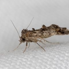 Arrade destituta (A Noctuid moth) at Melba, ACT - 6 Mar 2021 by Bron