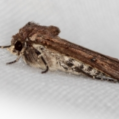Diarsia intermixta (Chevron Cutworm) at Melba, ACT - 6 Mar 2021 by Bron