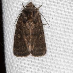 Proteuxoa provisional species 3 at Melba, ACT - 7 Mar 2021