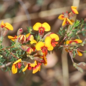 Dillwynia phylicoides at Black Mountain - 7 Mar 2021