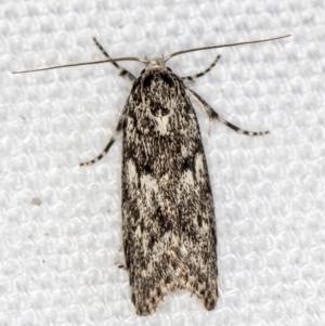 Lichenaula (genus) at Melba, ACT - 7 Mar 2021