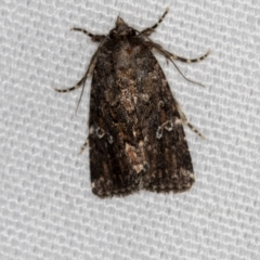 Ectopatria horologa (A Noctuid moth) at Melba, ACT - 7 Mar 2021 by Bron