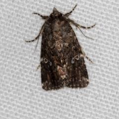 Ectopatria horologa (A Noctuid moth) at Melba, ACT - 7 Mar 2021 by Bron