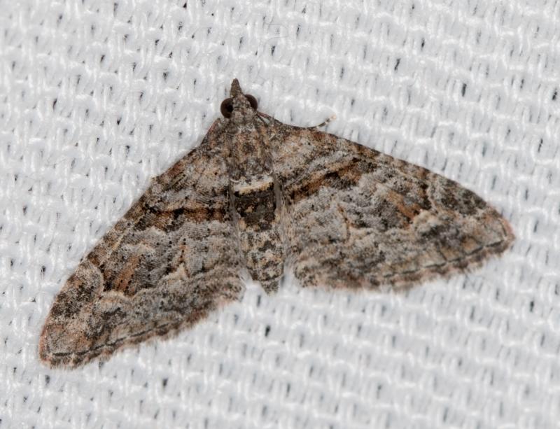 Phrissogonus laticostata at Melba, ACT - 7 Mar 2021